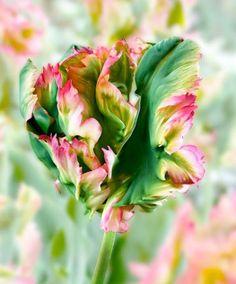Tulipán 'Exotic Parrot'. Különleges papagáj tulipán fajta. Akár 45 cm magasra is megnőhet.
