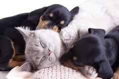 Tendresse .... Un Chat endormi entre 2 jeunes Chiots