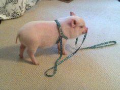 Mini Pigs | MICRO MINI PIG for sale in Milton, Ontario Classifieds ...