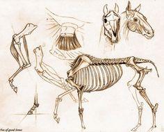 Horse anatomy study by Fox-of-good-Sense