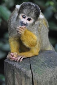 This looks just like my Ciccie girl, I miss her! Rip. I so want another! Squirrel monkey! <3