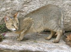 The jungle cat (Felis chaus) is a medium-sized cat native to Asia from southern China in the east through Southeast and Central Asia to the Nile Valley in the west. Wild Cat Breeds, Wild Cat Species, Endangered Species, Small Wild Cats, Small Cat, Ocelot, I Love Cats, Big Cats, Jungle Cat