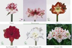 Thoughtful musings of florists who adore florists and flowers. Types Of Flowers, Cut Flowers, Amaryllis, Flower Identification, Petal Pushers, Greenery, Floral Design, Bloom, Place Card Holders