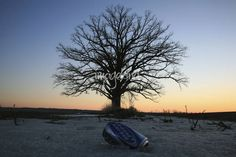 """Made in Missouri"" by Chris Wolters Photography, Missouri // Two things from Missouri; In front, a can of Bud Light brewed in St. Louis.  In the back, a 350 year old Burr Oak tree in McBaine Missouri which may be the oldest tree in Missouri. // Imagekind.com -- Buy stunning, museum-quality fine art prints, framed prints, and canvas prints directly from independent working artists and photographers."