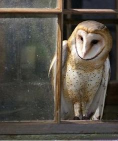 barn owls keep the rodents down