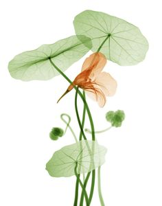 X-ray photography: water flower; X-ray of a nasturtium. (Photo by Bryan Whitney)