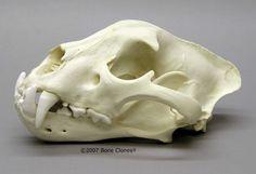 Jaguar Skull, Male - Bone Clones, Inc. Jaguar, Cat Skull, Human Skull, Animal Skeletons, Animal Skulls, Crane, Skull Reference, Drawing Reference, Animal Anatomy