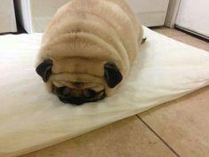 Pug rolls... yum!