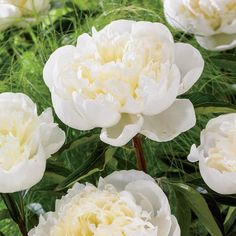 Duchesse De Nemours Peony- part shade perennial Zones: 3-8 Height: 24 - 30 inches Shade Requirement: Full Sun;Partial Shade Bloom Time: Mid to late spring