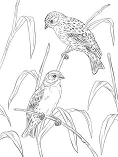 Click To See Printable Version Of Atlantic Canaries Coloring Page