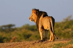 Mugie lions, so handsome