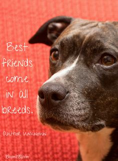 Best friends come in all breeds. Dog Quote. From the eBook Yips & Quips: 44 Dog Quotes. Dogs #Dogs #DogQuote #DogEBook #Quotes #Puppies #Pitbull