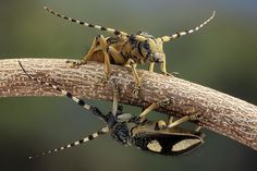 two longhorn beetles, natives of northern Thailand