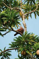 A pesar del reducido tamaño de los bosques secos del valle del Magdalena y de la intervención a la que han sido sometidos, aún se observan elementos característicos de la fauna, como esta paloma o tórtola, Columbina talpacoti.