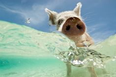 The paddling pig is part of a family that inhabits a small island and ventures out to meet passing boats