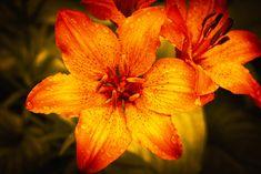 lilies by Catalin Petre - Photo 307783971 / Lilies, Orange Color, Fine Art, Landscape, Rose, Flowers, Plants, Irises, Scenery