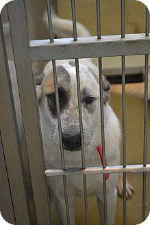 Rockwall, TX - Great Pyrenees/German Shepherd Dog Mix. Meet Rambo, a dog for adoption. http://www.adoptapet.com/pet/11864607-rockwall-texas-great-pyrenees-mix