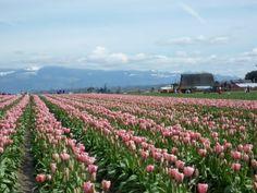 Tulip Fields, Mt. Vernon, WA