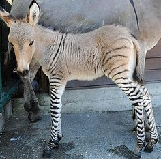 new baby zonkey♥ love the colors