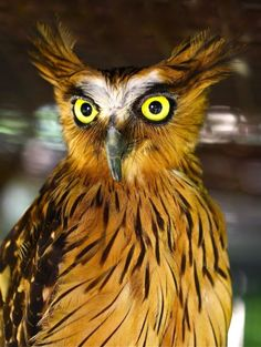 The Buffy Fish Owl, also known as the Malay Fish Owl, is a species of owl in the Strigidae family. It is found in Brunei, Cambodia, Cocos (Keeling) Islands, India, Indonesia, Laos, Malaysia, Myanmar, Singapore, Thailand, and Vietnam. Its natural habitat is subtropical or tropical moist montane forests.