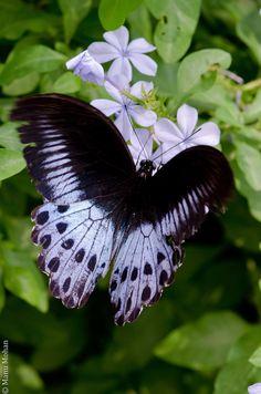 Blue Mormon (Papilio polymnestor) Butterfly