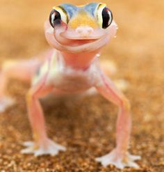 A web-footed gecko licks its eye in the Namib desert of Namibia.  The elusive reptile spends most of the day buried in the sand, and uses its long tongue to both clean its eyes of dust and drink the moisture which collects on its eyes when the morning mist rolls in from the sea.