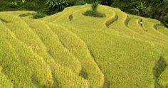 Terraced rice paddy fields during harvest season in Mu Cang Chai, northwest of Hanoi, on October 4, 2015.