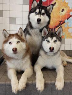 Gray, Black and Red Siberian Huskies.
