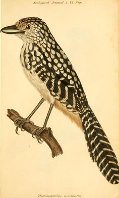 Antique bird illustration from 1824-1825 - The Zoological journal. - Biodiversity Heritage Library