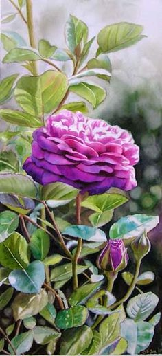 Purple Rose - watercolor flower painting by Doris Joa - Heidi Klum Rose