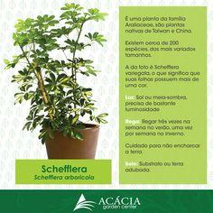 Schefflera ou Cheflera - veja como cuidar