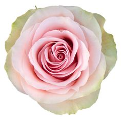 The Frutteto is a new variety of rose, available in our offer wholesale Roses. Light pink attractive rose with light green exterior petals.