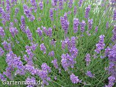 Lavendel - Pflanzen, Schneiden, Pflegen, Vermehren, überwintern ... Lavendel Pflanzen Tipps Pflege