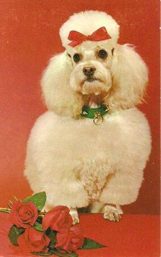 Vintage photo card of Poodle