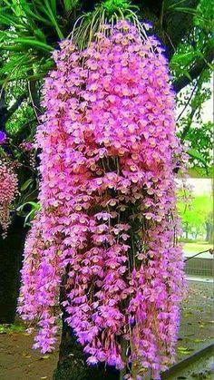 how often do orchids bloom Unusual Flowers, Most Beautiful Flowers, Pretty Flowers, Beautiful Gardens, Simply Beautiful, Tropical Flowers, Flowers Nature, Orquideas Cymbidium, Dendrobium Orchids