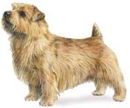 Get a pint-sized pup - preferably a Norfolk Terrier