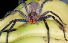 ¿Se esconden arañas venenosas en la fruta?