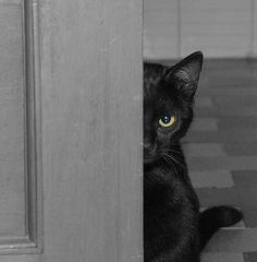 Black Kitty - Watching you in case you go for the tuna