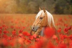 Beautiful Horse, Palomino in poppies