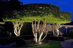 uitlichten van solitaire Parrotia persica vormbomen - All For Garden