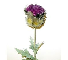 Scottish thistle flowers by thistle flowers usa las vegas nevada scottish thistle flowers by thistle flowers usa las vegas nevada usa mightylinksfo