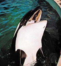 Keiko Orca, Vancouver Aquarium, Killer Whales, Sea World, Dolphins, Color Inspiration, Childhood Memories, Parks, Safari
