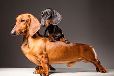 Dachshunds ...Red one with Tan and black. They always think they are BIG dogs!:) | Dog Whisperer Cesar Millan