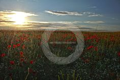 Poppy Fields at sunset, taken in Denton, East Sussex.