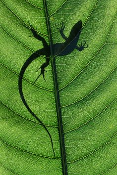 I want to be a lizard in the sun on a leaf.  Look at his tiny little suction cup toes! <-| from previous pinner