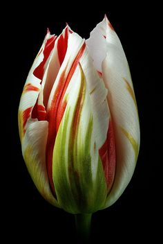 Flaming #Tulip by There and back again, v/Flickr. /// #White and #red and green.