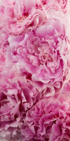 to fall in bed of peony . Most Beautiful Flowers, My Flower, Pretty Flowers, Pretty In Pink, Pink Peonies, Pink Roses, Pink Flowers, Whatsapp Wallpaper, Rose Wallpaper