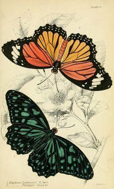 Foreign butterflies, James Duncan, 1858.