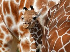 Carlo, the german giraffe