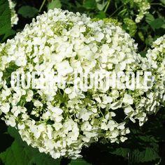 image de Hydrangea arborescens Incrediball® Hydrangea, Planting Flowers, Photos, Image, Gardens, Index Cards, Plants, Pictures, Photographs